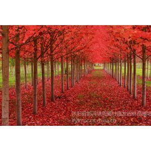 供应高发芽率苗圃生产红花槭美国红枫北美红枫种子