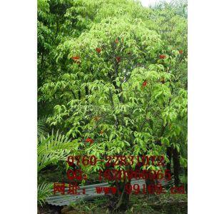供应 假苹婆 大量供应园林绿化苗木 树形信息优质木