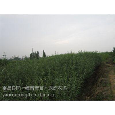竹柳 优质竹柳大量出售