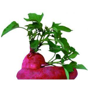供应新农1号红薯苗出售精品优良红薯苗一级红薯苗五一红薯苗价格
