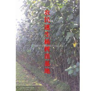 供应山东杨树苗价格趋势、安徽求购杨树苗信息、河南杨树苗供应商