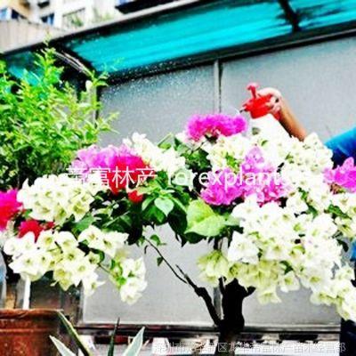 供应灌木多色勒杜鹃 三角梅花卉盆栽植物