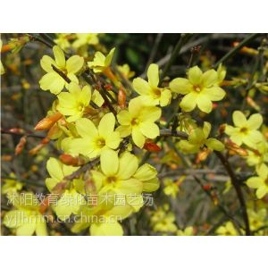 供应供应腊梅苗木价格,紫玉兰绿化苗木,垂柳等苗木,连翘价格
