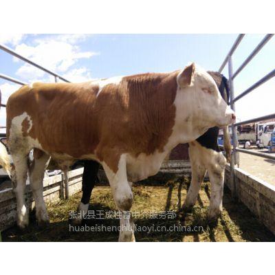 张家口肉牛市场肉牛牲畜市场西门塔尔牛犊