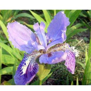 福缘绿化苗木基地供应优质紫花鸢尾
