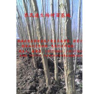 供应重庆杨树苗价格、云南杨树苗价格、贵州杨树苗价格