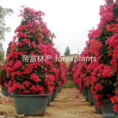 基地供应工程绿化苗木 多色勒杜鹃 三角梅 叶子花 灌木盆景
