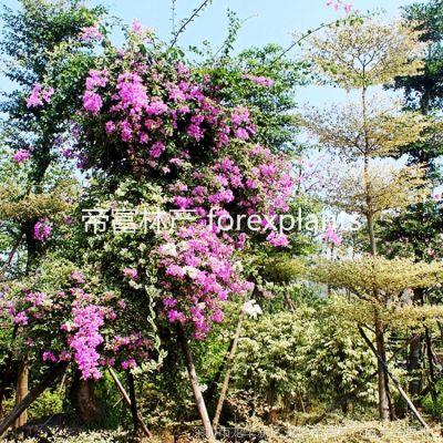 供应法式绝美多色勒杜鹃,三角梅,叶子花