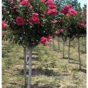 购买便宜的紫薇 请到江苏宿迁市紫薇种植基地