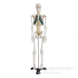 供应康谊牌 KAY/A003 人体骨骼带神经模型85CM