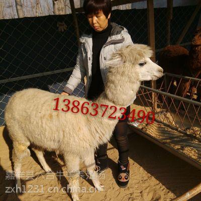 山东济宁 咖啡色可爱羊驼 进口宠物羊驼 六合养殖场批发