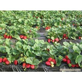 山东草莓苗基地 大棚草莓苗品种 奶油草莓苗价格