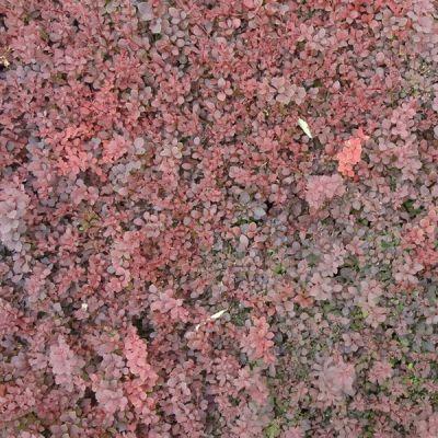 常年供应红叶小檗小苗 红叶小檗球 工程苗 树形正 基地种植 量大优惠