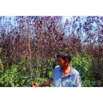 供应米径3-11公分红叶李2000棵