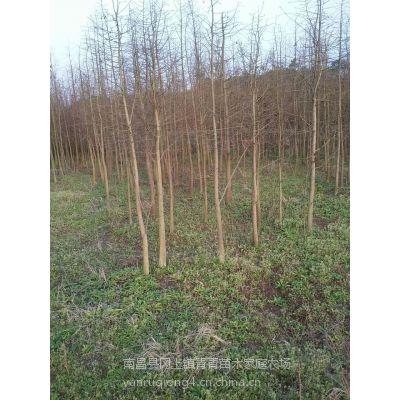 优质米径4公分池杉苗批发