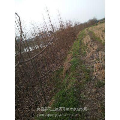 2-3米高农田移植池杉苗低价出售