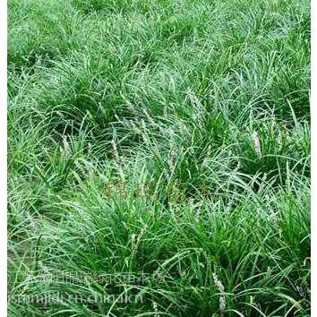 麦冬草主要产地 麦冬草最新报价