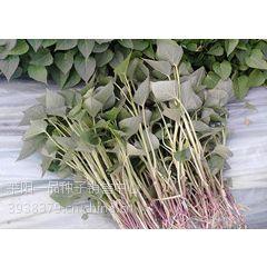 紫薯苗▁紫薯苗价格