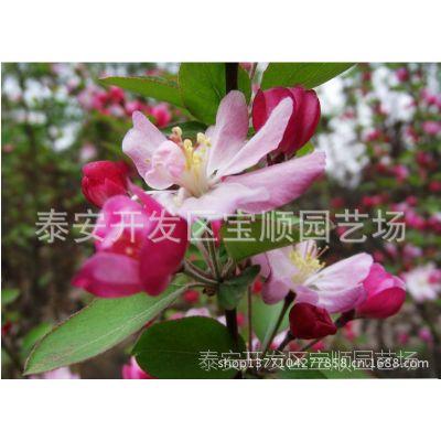 大量供应绿化工程中较受欢迎的产品——西府海棠 海棠大小苗 碧桃