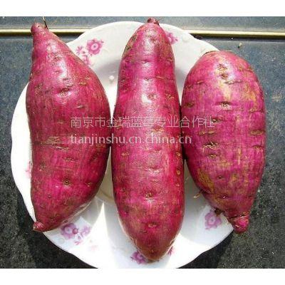 基地直销供优质应紫番薯