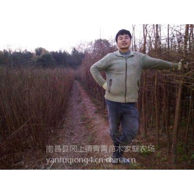 南昌县冈上镇青青苗木场自产自销池杉苗