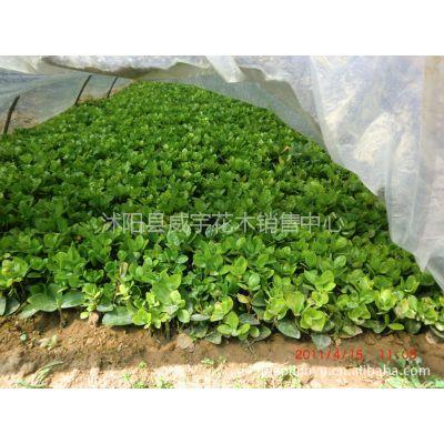 低价格供应沭阳花木:北海道黄杨