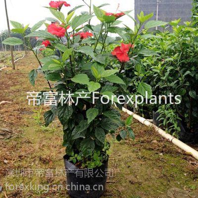 大量朱槿,大红花,扶桑花现货直发