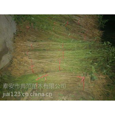 桃树苗批发供应 产地直销 质优价廉典范苗木