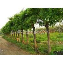 供应供应国槐--白蜡--速生白蜡信息,白蜡市场价格明坤苗木基地常年有树,保成活签订合同