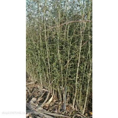 志森园艺自繁自养枳壳苗规格 保证无病虫害枳壳苗价格