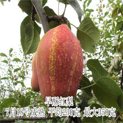 红梨品种介绍 早酥红梨树苗几年挂果