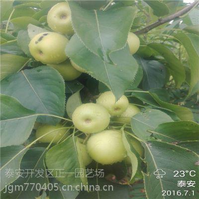 基地供应晚熟梨树苗 晚秋黄梨树苗价格 1.5米高1公分粗嫁接成苗 矮化高产品种 正一园艺场