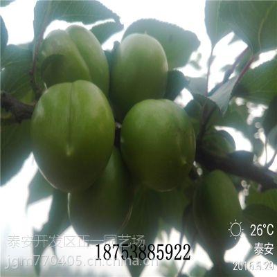 正一果树基地批发杏树苗 金太阳杏苗价格 嫁接2年成苗 早熟高产品种效益高