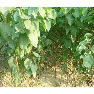 珍珠油杏树苗