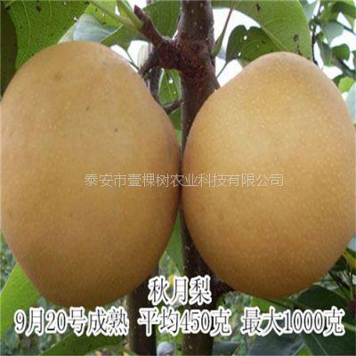 秋月梨 大量供应当年秋月梨树苗