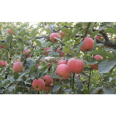 壹棵树农业 新品种苹果树苗 矮化苹果种植技术 厂家特卖