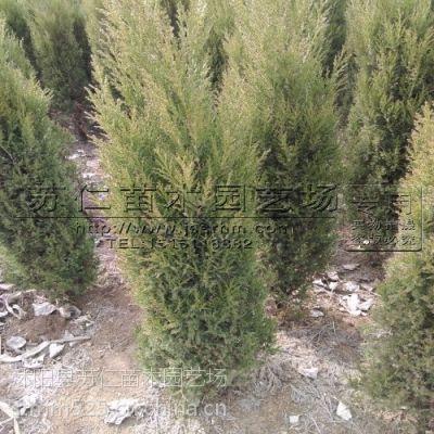 绿化工程苗-1米5塔柏价格