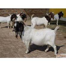 供应泰安波尔山羊养殖场☀种羊羔羊技术