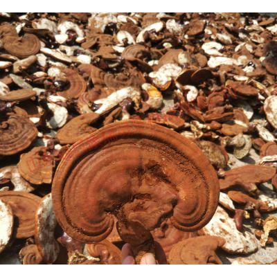 河南灵芝种植技术培训 优质南韩灵芝种植基地