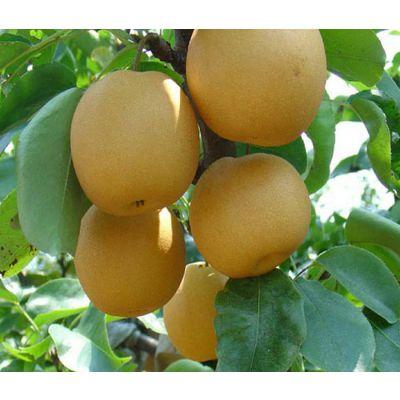 金果梨树苗