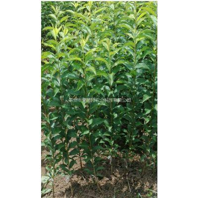 新品种李子苗高度0.8米 成活率99% 2年结果 壹棵树农业 李子树苗价格