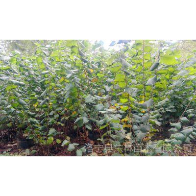供应欧洲榛子苗2000棵