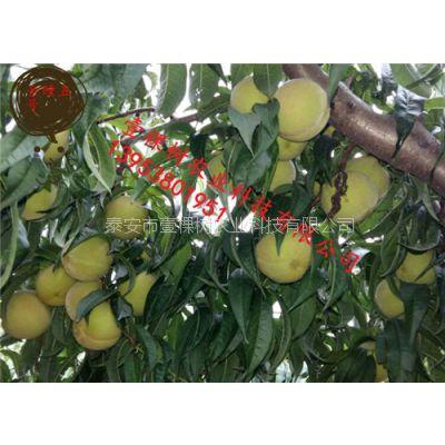 金瞳5号桃树苗 83黄桃桃树苗 适合加工的黄桃品种有哪些