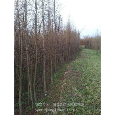 基地低价批发米径5公分农田移栽优质池杉苗