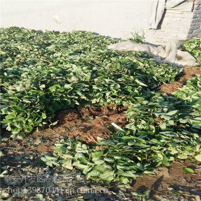 志森园艺草莓苗品种 妙香7号草莓苗产地价格 妙香7号推广基地