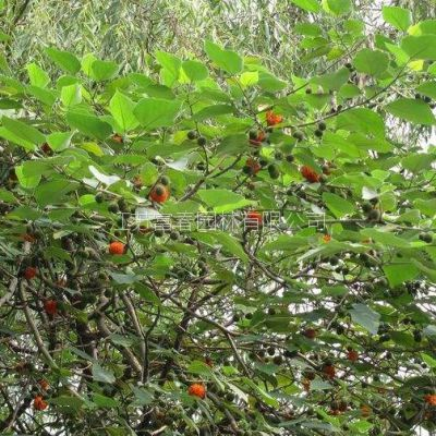 优质构树 绿化苗木规格齐全 构树苗量大价格优惠