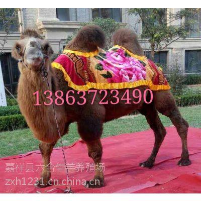 供应旅游区观赏骆驼 旅行拍照骆驼 六合牛羊养殖场直营