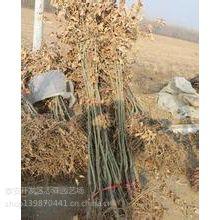 志森园艺嫁接板栗苗品种 莱阳红板栗苗价格