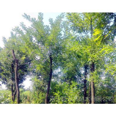 供应米径4-15公分国槐170棵