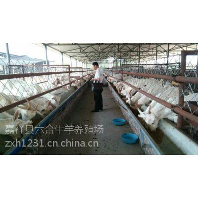 供应努比亚羊羔 努比亚羊羔 六合牛羊养殖场
